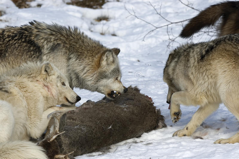 Download Wolf pack behavior stock photo. Image of wolves, wolf - 13230322