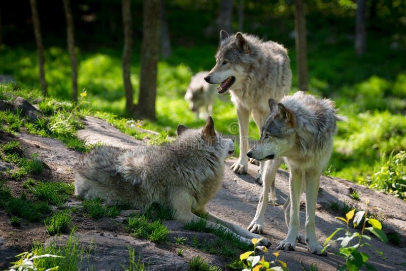 Wolf Pack di tre lupi immagini stock