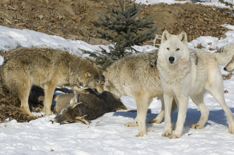 Wolf pack on kill stock photo