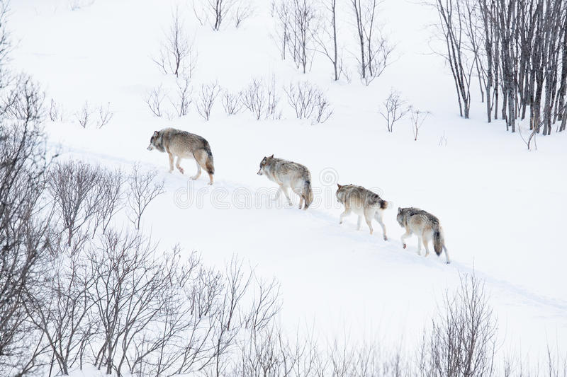 Download Wolf Pack Running In The Cold Landscape Stock Photo - Image: 39182476