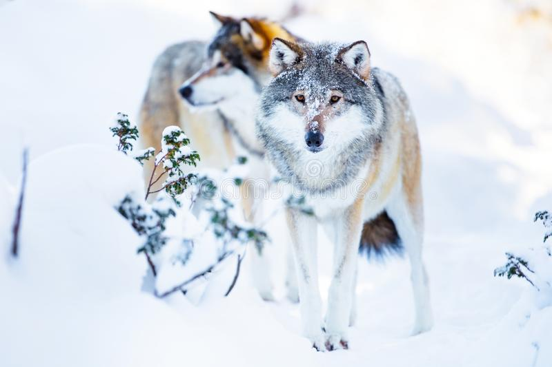Two large wolves in cold winter landscape. Wolf pack walking in the woods a cold winter day. Snow on the ground and on the trees royalty free stock photos