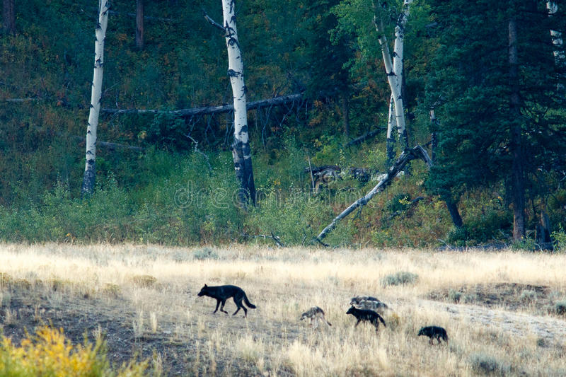 Wolf pack in Yellowstone royalty free stock photos