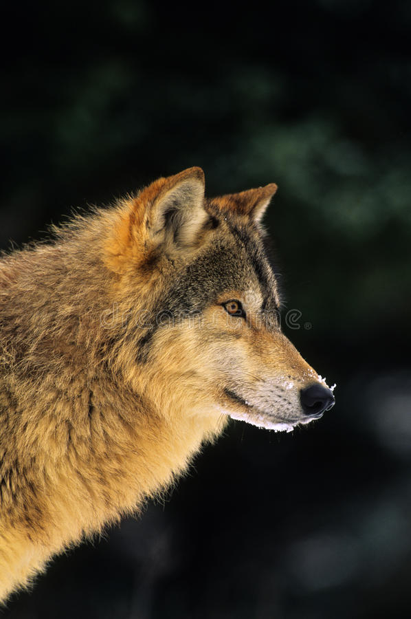 Download Wolf Portrait stock image. Image of predator, canine - 19101911