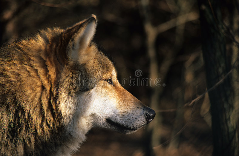Download Wolf portrait stock image. Image of dawn, canine, furry - 532429