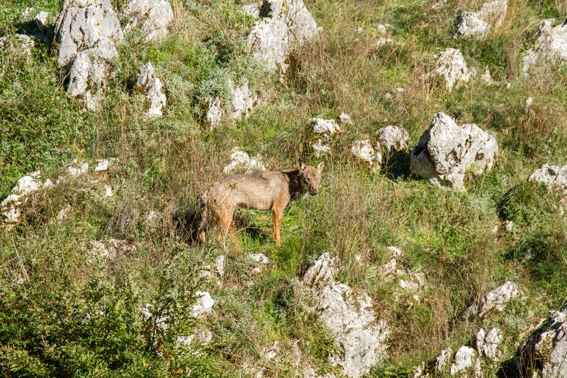 Wolf predator national park of abruzzo royalty free stock images