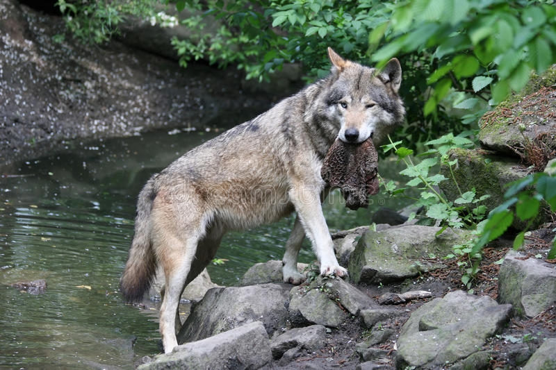 Wolf with a prey stock photos