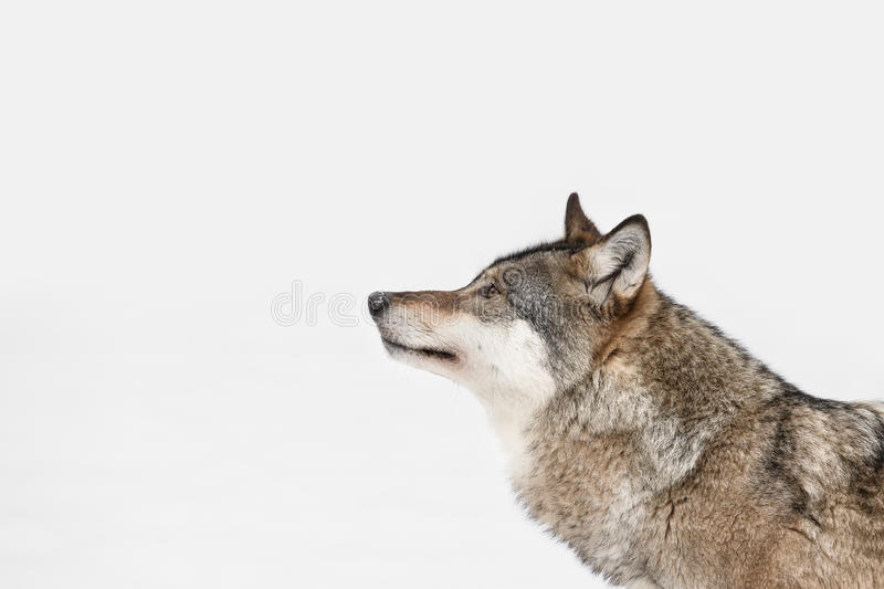 Wolf. A profile of a Grey Wolf looking into the distance because its attention has been caught by movement on some higher ground to the left of frame stock photo