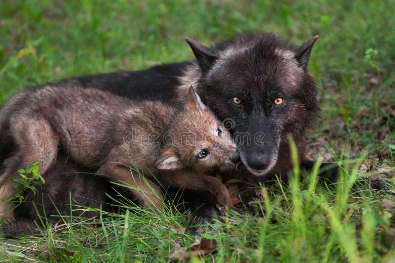 Wolf Pup (lupus de Canis) lèche la mère priant pour la nourriture image libre de droits