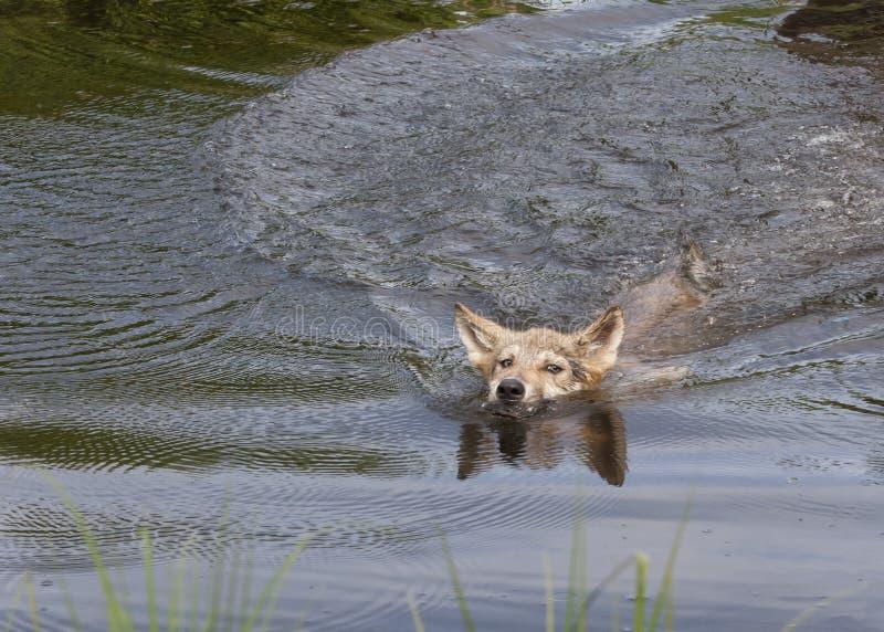 Wolf Pup Swimming photo libre de droits