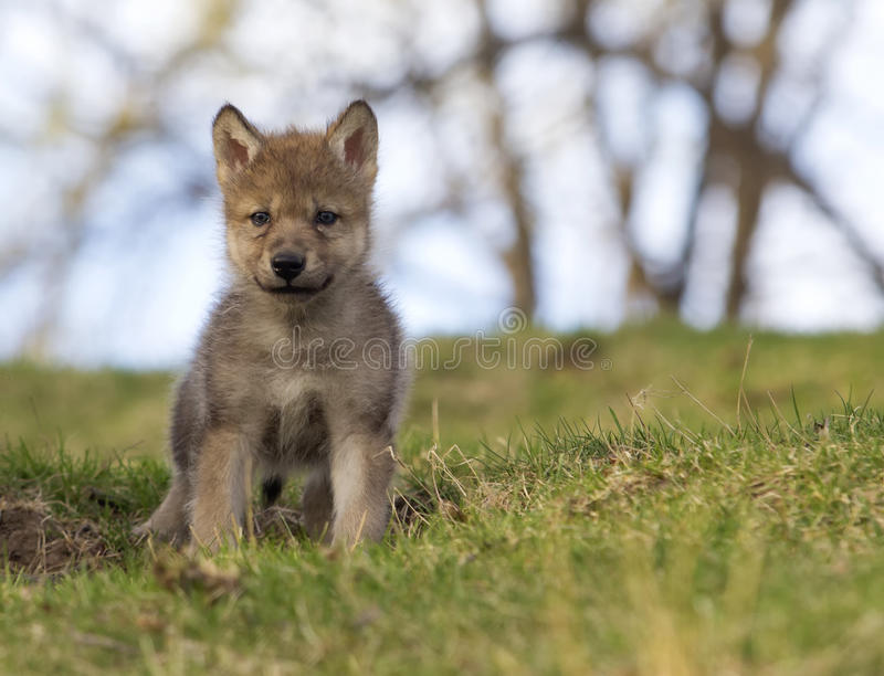 Wolf pup stock photo