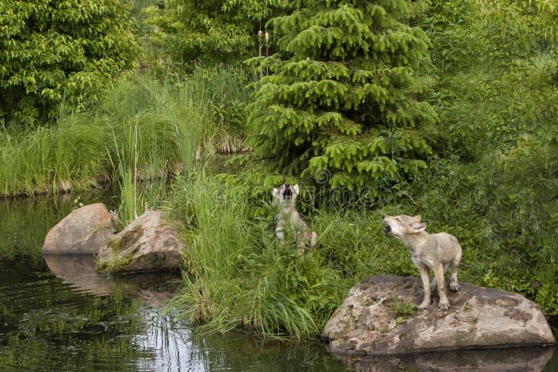Wolf Puppies Howling immagine stock libera da diritti