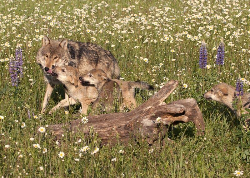 Wolf Puppies in Wildflowers fotografia stock