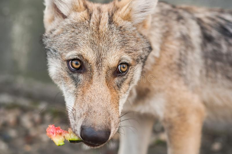 Wolf puppy eating royalty free stock photo