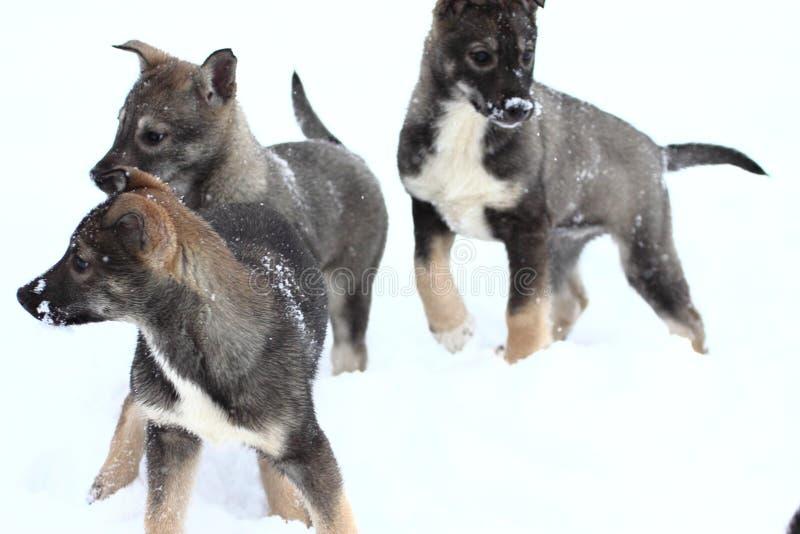 Wolf pups stock photo
