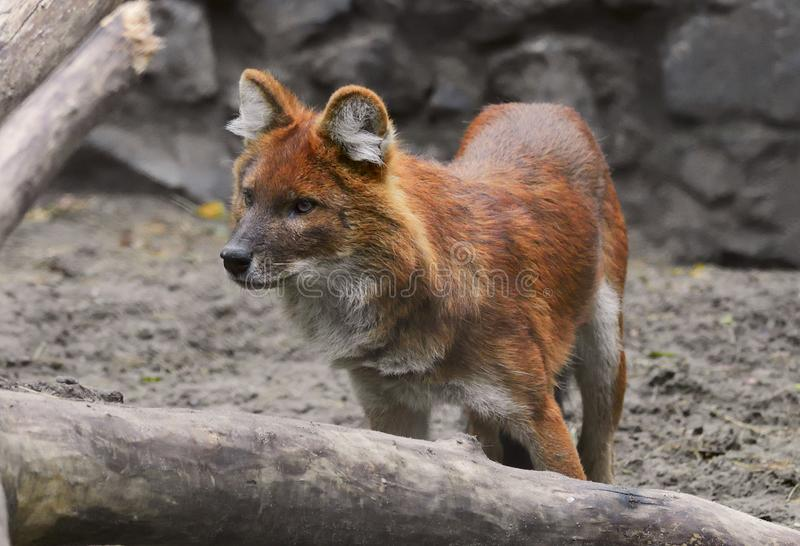 Red wolf in the zoo. Wolf with red thick hair in the enclosure of the Novosibirsk zoo - the largest in Russia, Siberia, 2019 royalty free stock photo