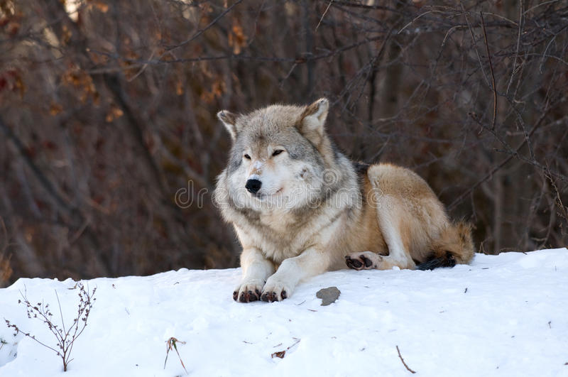 Download Wolf relaxing in the snow stock image. Image of kissing - 12196549