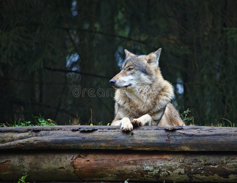 Wolf resting on top of two decaying logs royalty free stock images