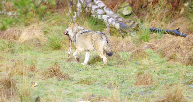 Wolf running away with piece of meat in the forest. Grey wolf runs away with a piece of lure meat in the mouth. Carnivore in the forest. Slow motion stock video footage