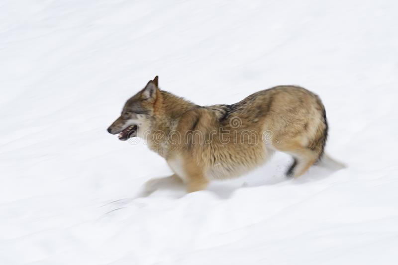 Gray wolf in winter stock images