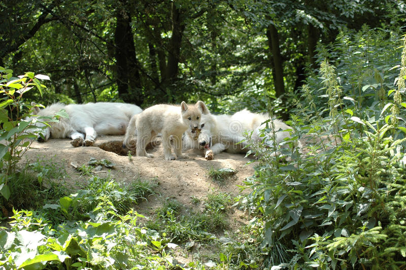 Download Wolf's  Family. Royalty Free Stock Photo - Image: 10035075