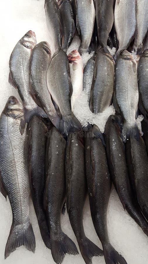 Wolf of sea fish stock photo