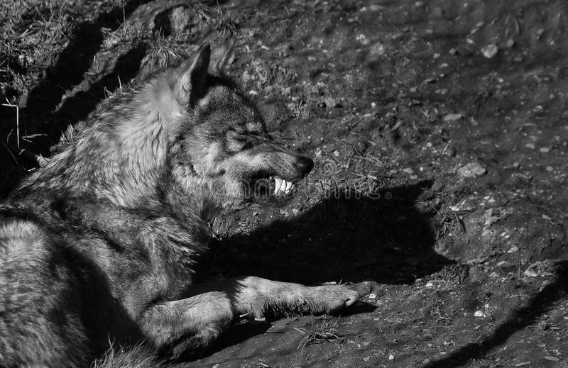 Wolf showing teeth stock images