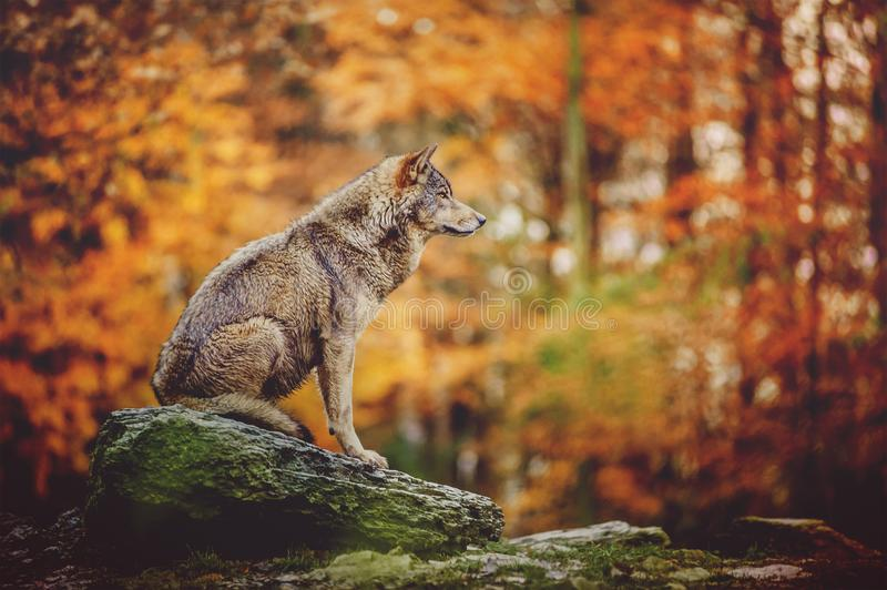 Wolf Sitting auf dem Stein in Autumn Forest stockfoto