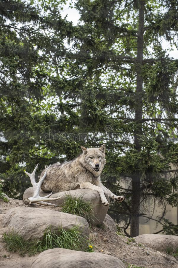 Wolf sitting peacefully on the rock in a wooden atmosphere during a summer time. royalty free stock photo