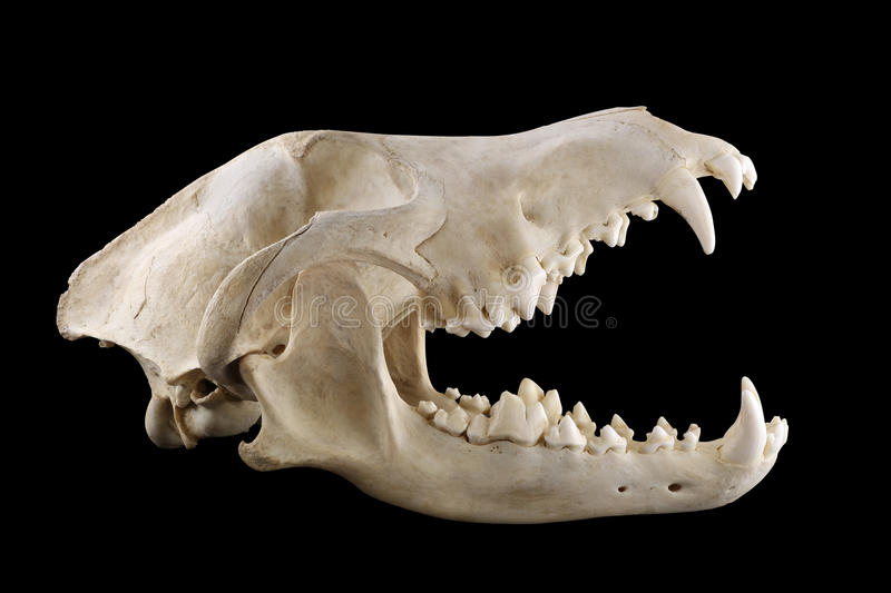 Wolf skull with big fangs in opened mouth isolated black. Skull of wild grey wolf lateral view isolated on a black background. Almost fully opened mouth. Focus royalty free stock photo