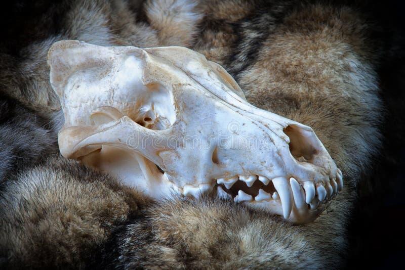 Wolf Skull en piel foto de archivo
