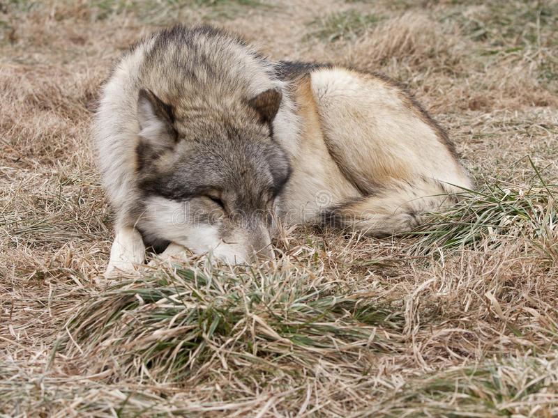 Download Sleeping Wolf stock image. Image of aggressive, outside - 29833669