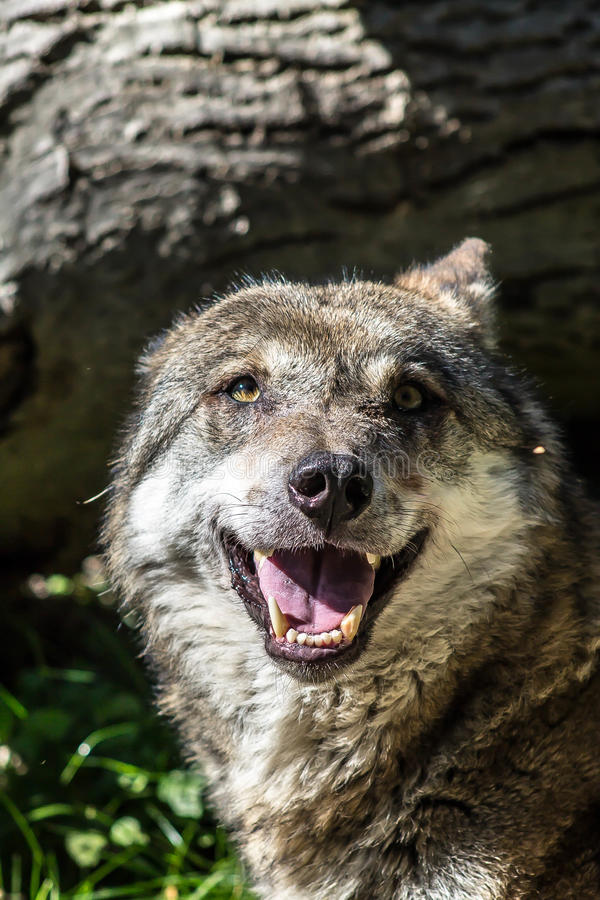Wolf Smile royaltyfria bilder