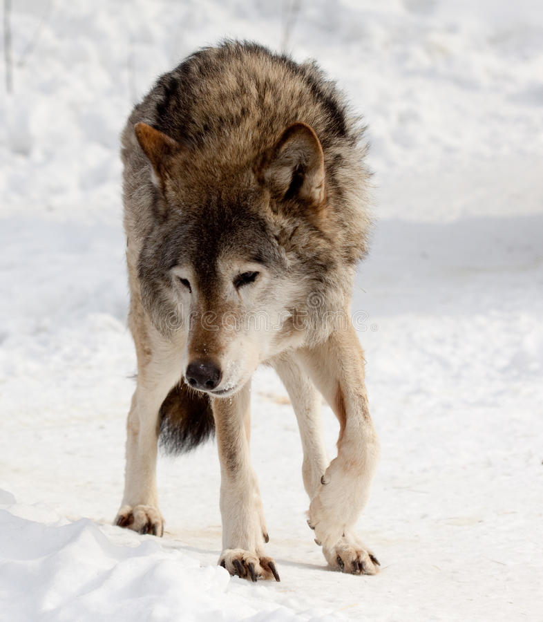 Wolf on snow royalty free stock images