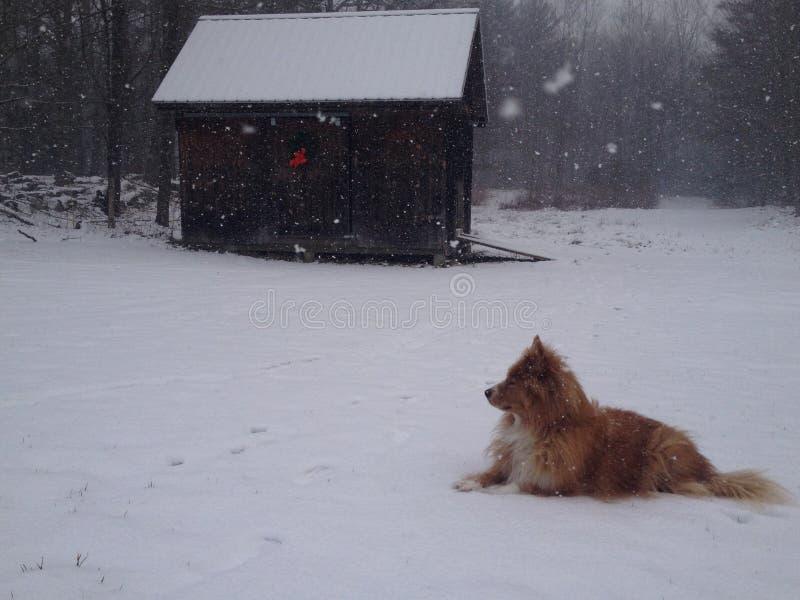 Wolf In Snow By Barn rosso immagini stock libere da diritti