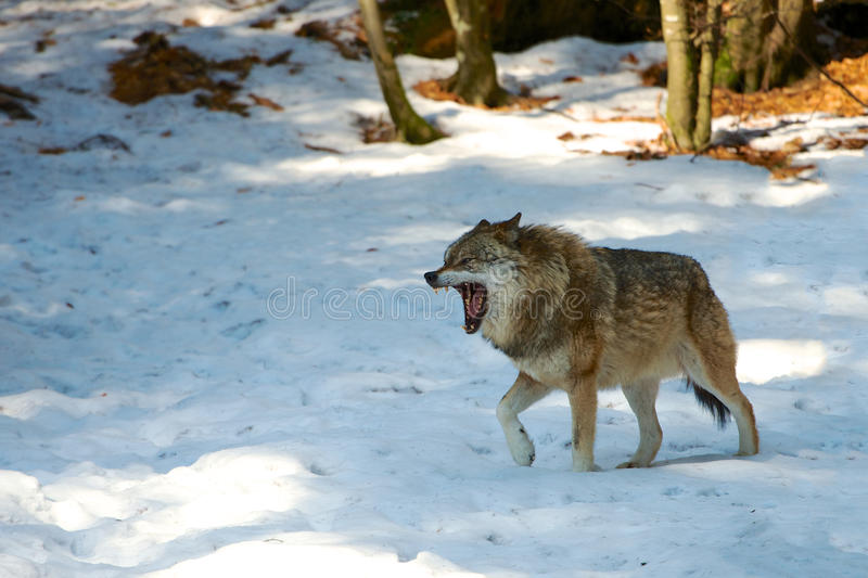 Download Wolf stock image. Image of brown, teeth, snow, wild, angry - 37421541