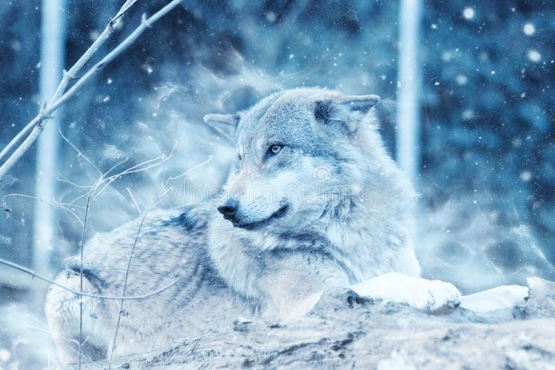 Wolf in snowy forest royalty free stock image