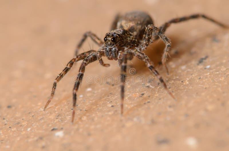 Wolf Spider image libre de droits