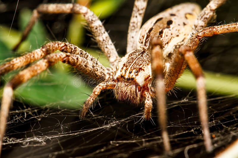 Wolf Spider photographie stock