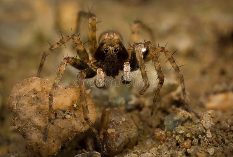 Wolf Spider royaltyfri bild