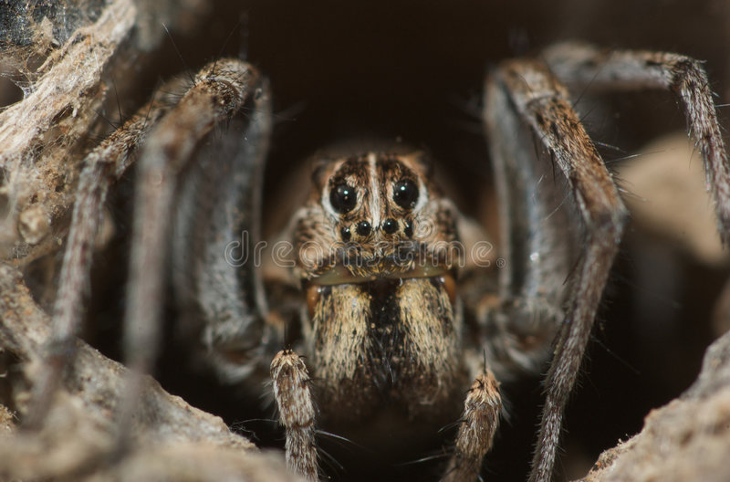 Download Wolf Spider stock photo. Image of macro, abstract, background - 6315842