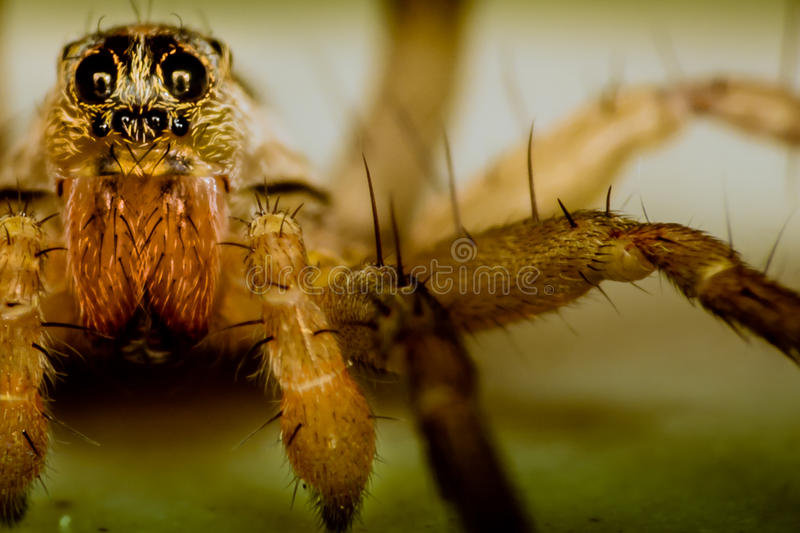 Wolf Spider image stock