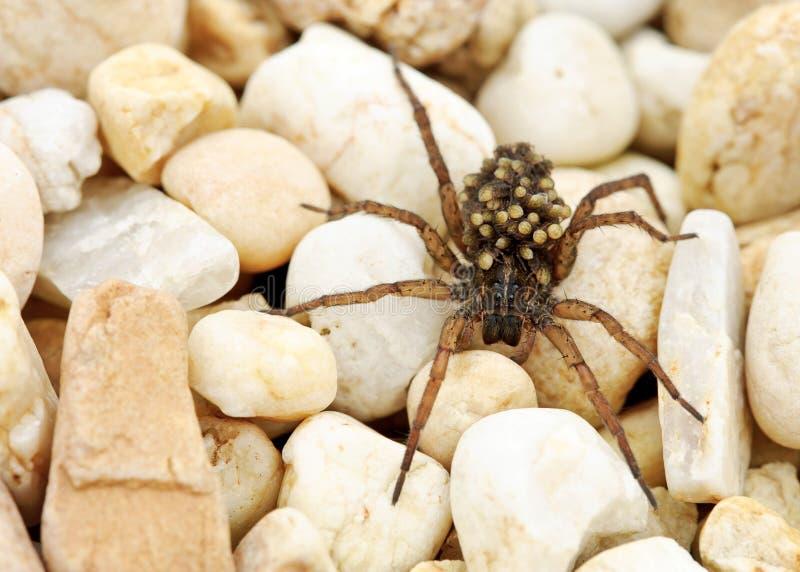 Wolf Spider avec des bébés image libre de droits