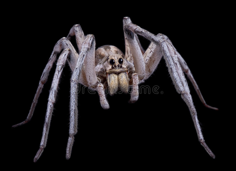 Wolf spider on black royalty free stock photo