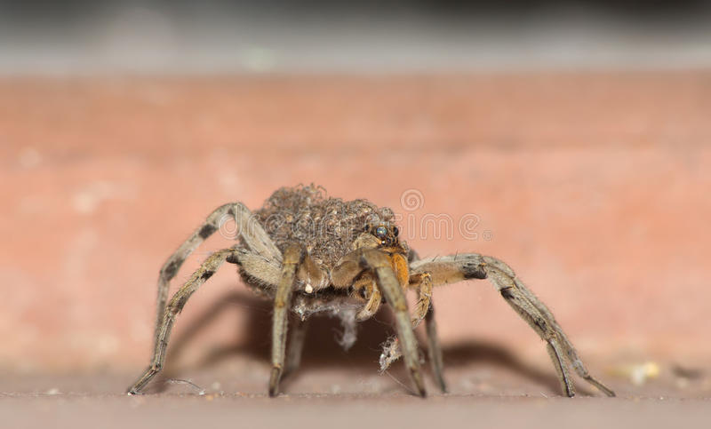 Wolf Spider Carrying Babies stock afbeelding