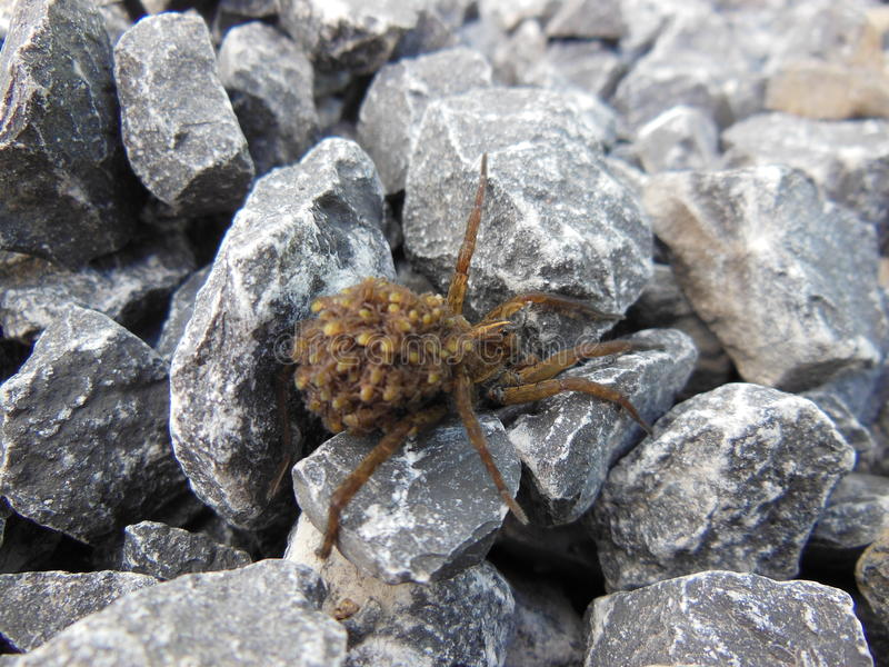 Wolf spider stock images