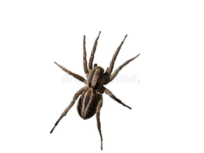 Wolf spider close up view isolated. Wolf spider close up top view isolated on white royalty free stock photography