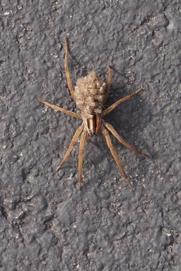 Wolf Spider die haar jongelui op haar terug vervoeren stock fotografie