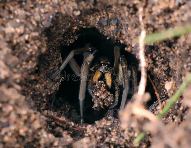 Wolf Spider Digging uit zijn Hol stock fotografie