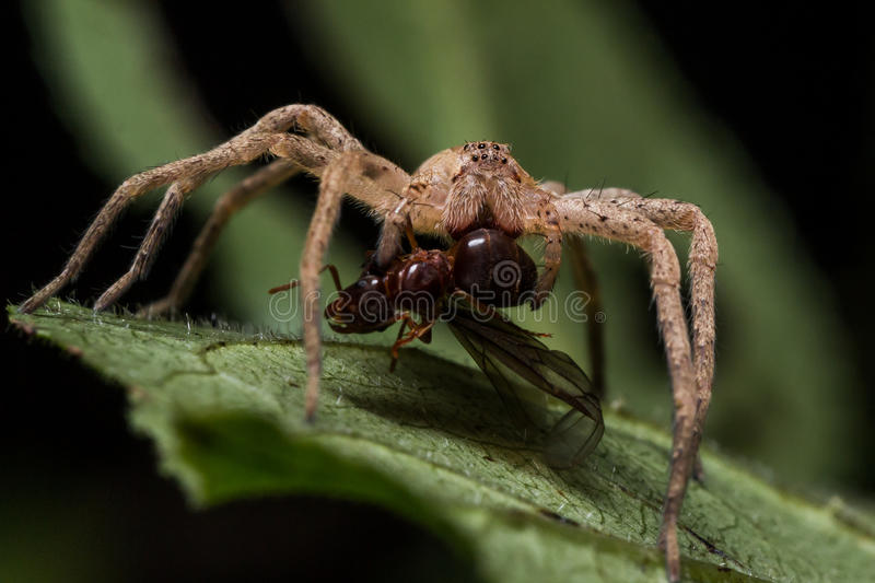 Wolf Spider Eats Red Ant na folha verde foto de stock royalty free