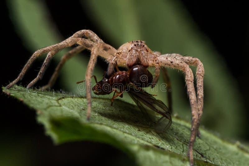 Wolf Spider Eats Red Ant på det gröna bladet royaltyfri foto